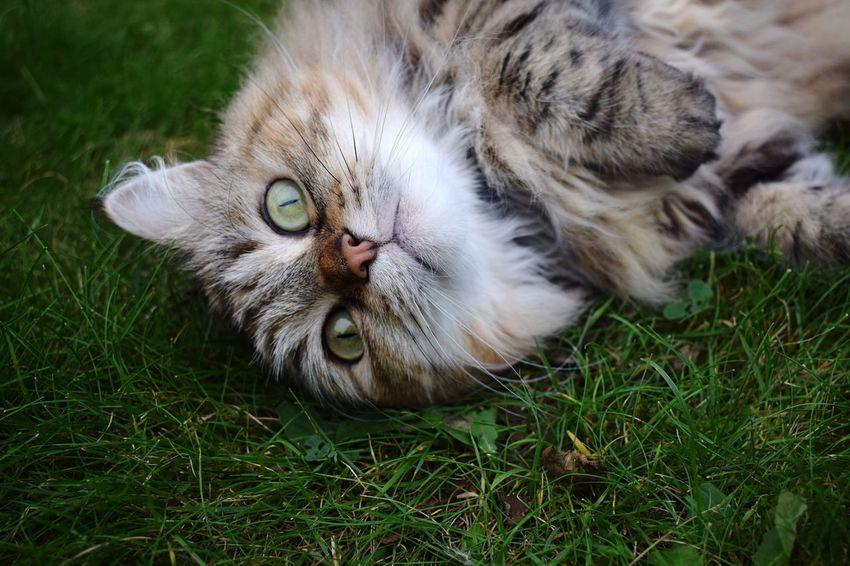 Contrast Grass Domestic Cat Pets Alertness One Animal Animal Eye Animal Hair Cat Alert Cat