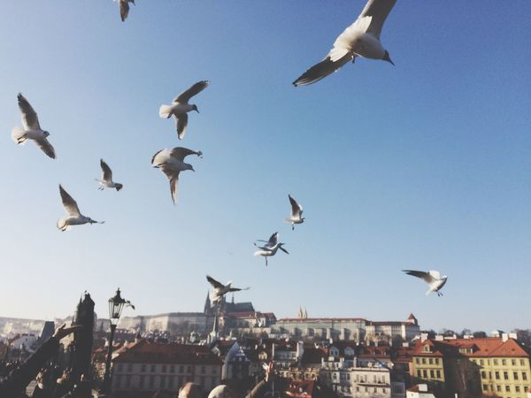 Feathered beggars - Prague Flying Birds Charles Bridge Prague Flock Of Birds Spread Wings City Low Angle View High In The Sky Lookingup Clear Sky Historical Building