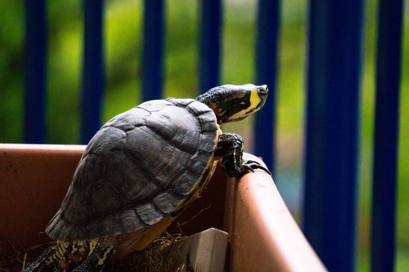 Close-up of a turtle looking outside of its habitat