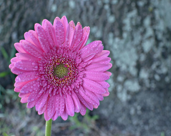 Pink Gerbear Diasy Beauty In Nature Blooming Close-up Flower Flower Head Flower Photography Focus On Foreground Fragility Freshness Growth In Bloom Nature Outdoors Petal Pink Pink Pink Color Pink Daisy Pink Flower Pink Flowers Pink Gerbera Single Flower