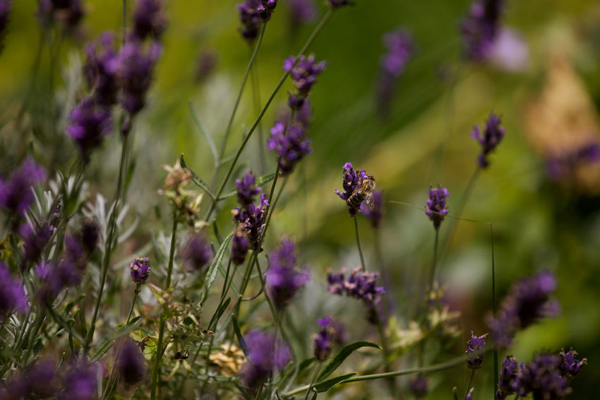 wild lavender and a bee Bees Busy Flowers Grass Insect Lavender Outdoors Rosmarin Selective Focus Warm Wild