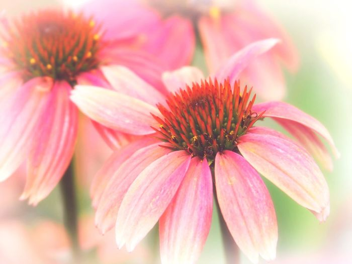 EyeEm Selects Flowering Plant Flower Plant Freshness Pink Color Fragility Close-up Beauty In Nature Petal Flower Head Focus On Foreground Coneflower Pollen Day Nature Selective Focus