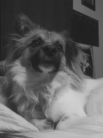 The Week Of Eyeem NewToEyeEm Black And White Domestic Animals Dog Chewie Close-up Bed