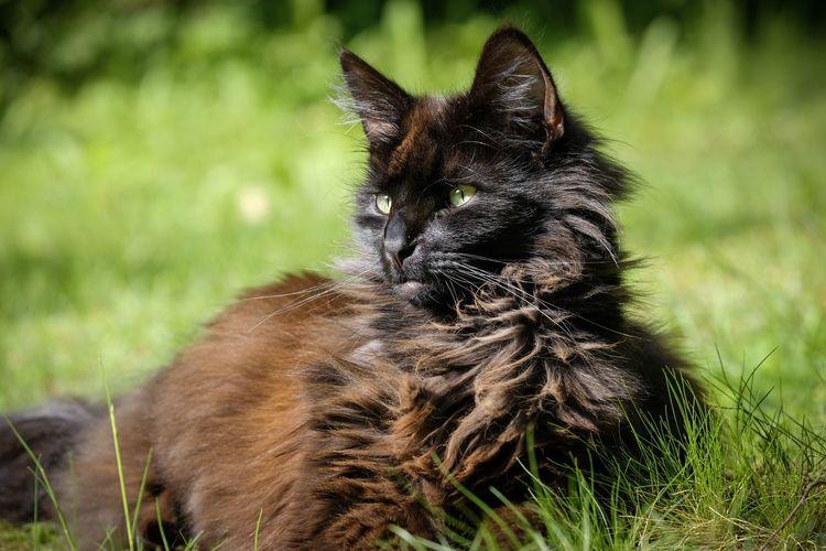 pedigree black