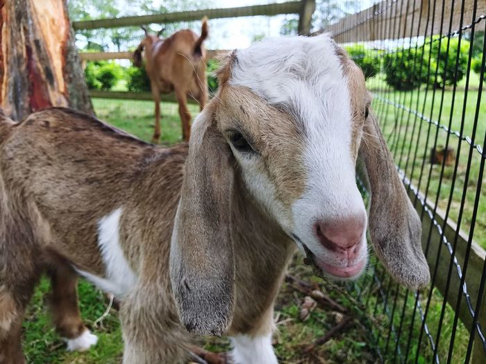 Baby Goat Animal Themes Domestic Animals Livestock Mammal Young Animal Day One Animal Focus On Foreground No People Grass Outdoors Nature Close-up Goat Baby Goats Baby Goat Nature Grass Kid Pet Portraits