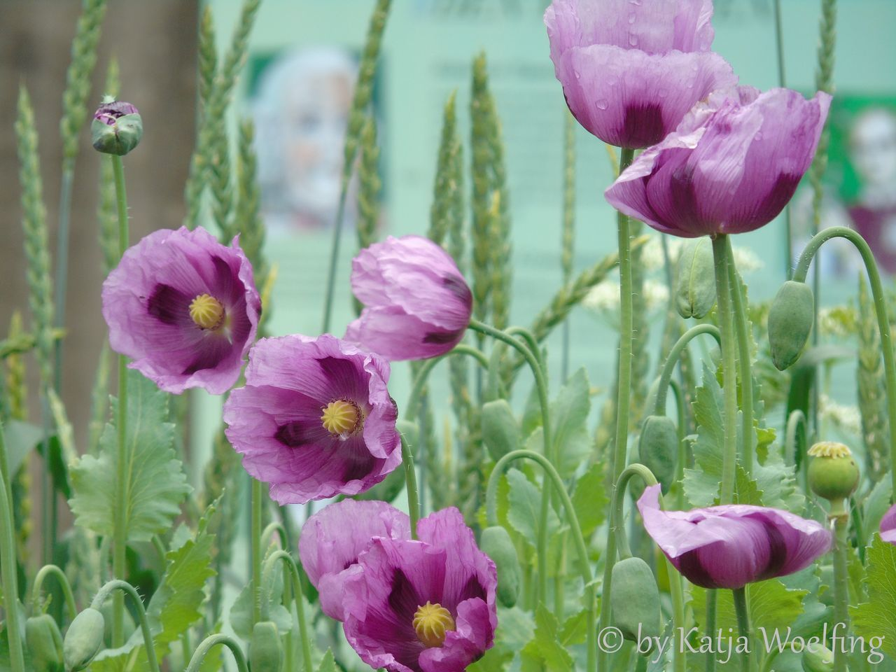 flower, petal, growth, beauty in nature, nature, plant, fragility, freshness, flower head, blooming, no people, purple, focus on foreground, close-up, outdoors, day, pink color, crocus
