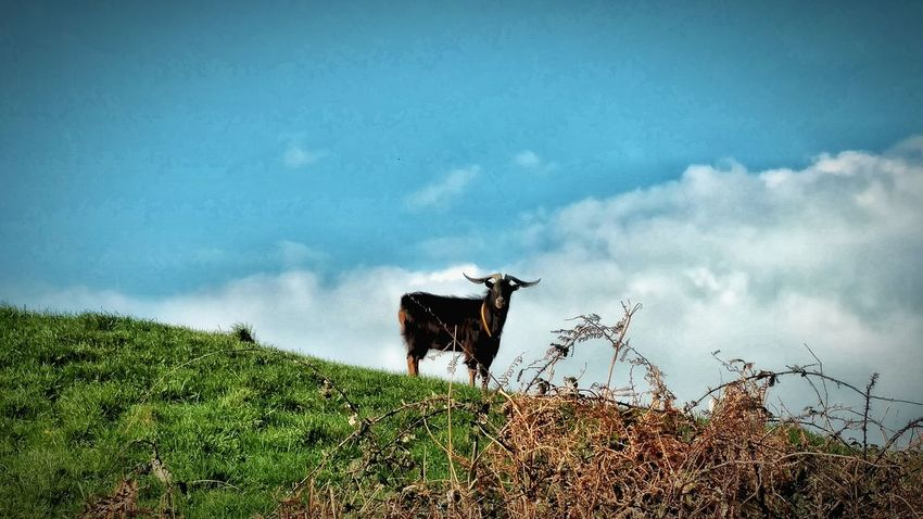 Domestic Animals Cow Agriculture Sky Cloud - Sky Animal Themes Mammal