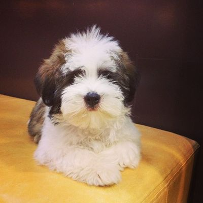 """""""Stop staring and get me breakfast"""" Rocky Dog Lhasaapso Dailypuppy"""