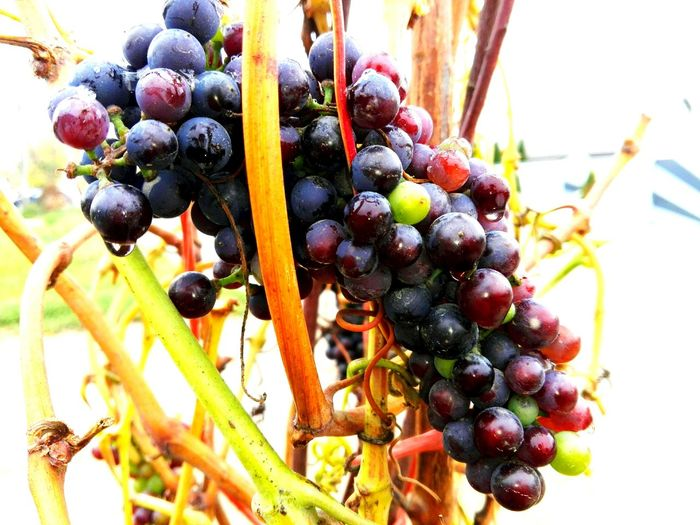 Dripping Rain On Grapes Dripping Rain. Grapes Slowfood WOLFZUACHiV Photography Ionita Veronica Photography Veronica Ionita Ionita Veronica Veronica IONITA Photography Wolfzuachiv Veronica WOLFZUACHiV EyeEm Selects Fruit Grape Vine - Plant Bunch Leaf Wine Red Healthy Lifestyle Red Grape Unripe Juicy Vineyard Vine Ripe