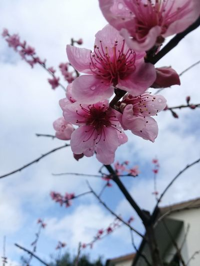 Flower Pink Color Flower Head Nature Blossom Beauty In Nature Petal Growth Branch Close-up No People Plant Springtime Fragility Almond Tree Freshness Beauty Outdoors Tree Day First Eyeem Photo First Eyem Photograpy Beauty In Nature Nature