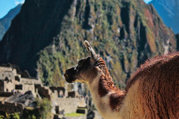 Close-up of llama against mountains