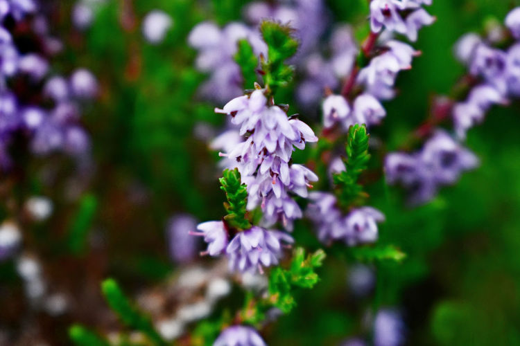 Heather Flower