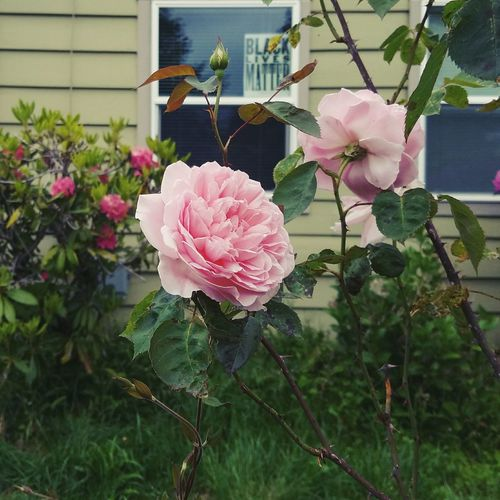 Flower Plant Growth Fragility Nature Beauty In Nature Outdoors Day Pink Color Freshness Flower Head Building Exterior Rose - Flower No People Petal Leaf Blooming Architecture Close-up House Front Yard