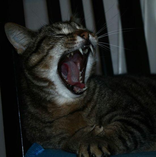 Cat Neko Orion Domestic Animals Animal Cats Domestic Cat Gatto Yawning Yawn Yawning Cat Big Yawn Sbadiglio