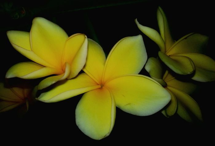 Relaxing Enjoying Life Flower Collection INDONESIA Flower Photography Nature Beauty Nature's Diversities Enjoying Nature EyeEm Flower Flowers, Nature And Beauty Plants And Flowers Flowers Eyeem Market EyeEm Gallery Nature In The Night