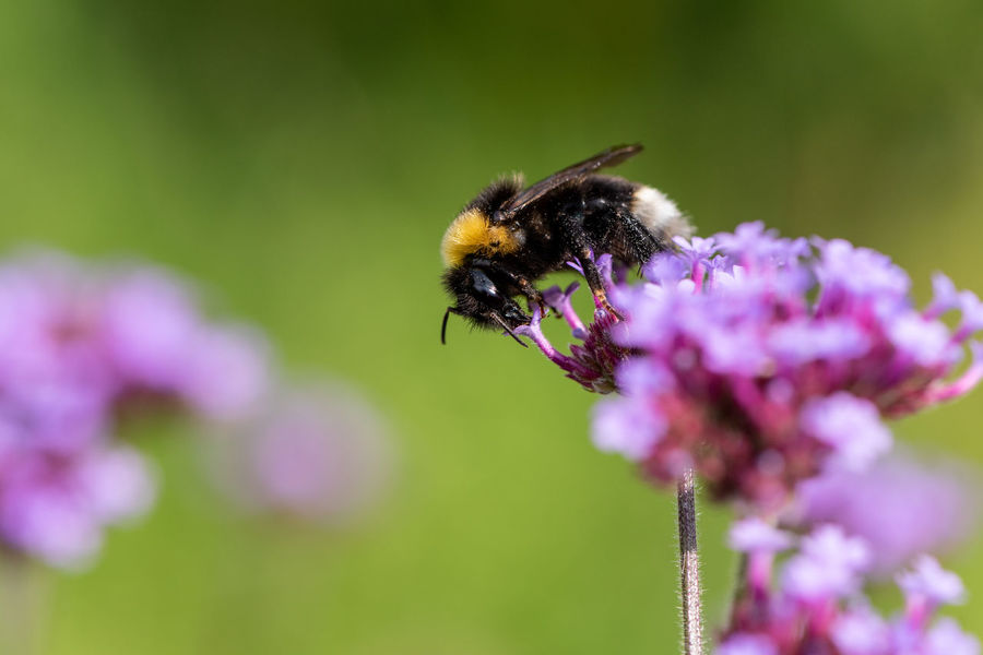 Bumble Bee Summer Views Animal Animal Themes Animal Wildlife Beauty In Nature Bee Bombus Terrestris Bumblebee Close-up Flower Flower Head Flowering Plant Fragility Freshness Insect Insects  Invertebrate One Animal Petal Plant Pollination Pretty Verbena Purple Vulnerability