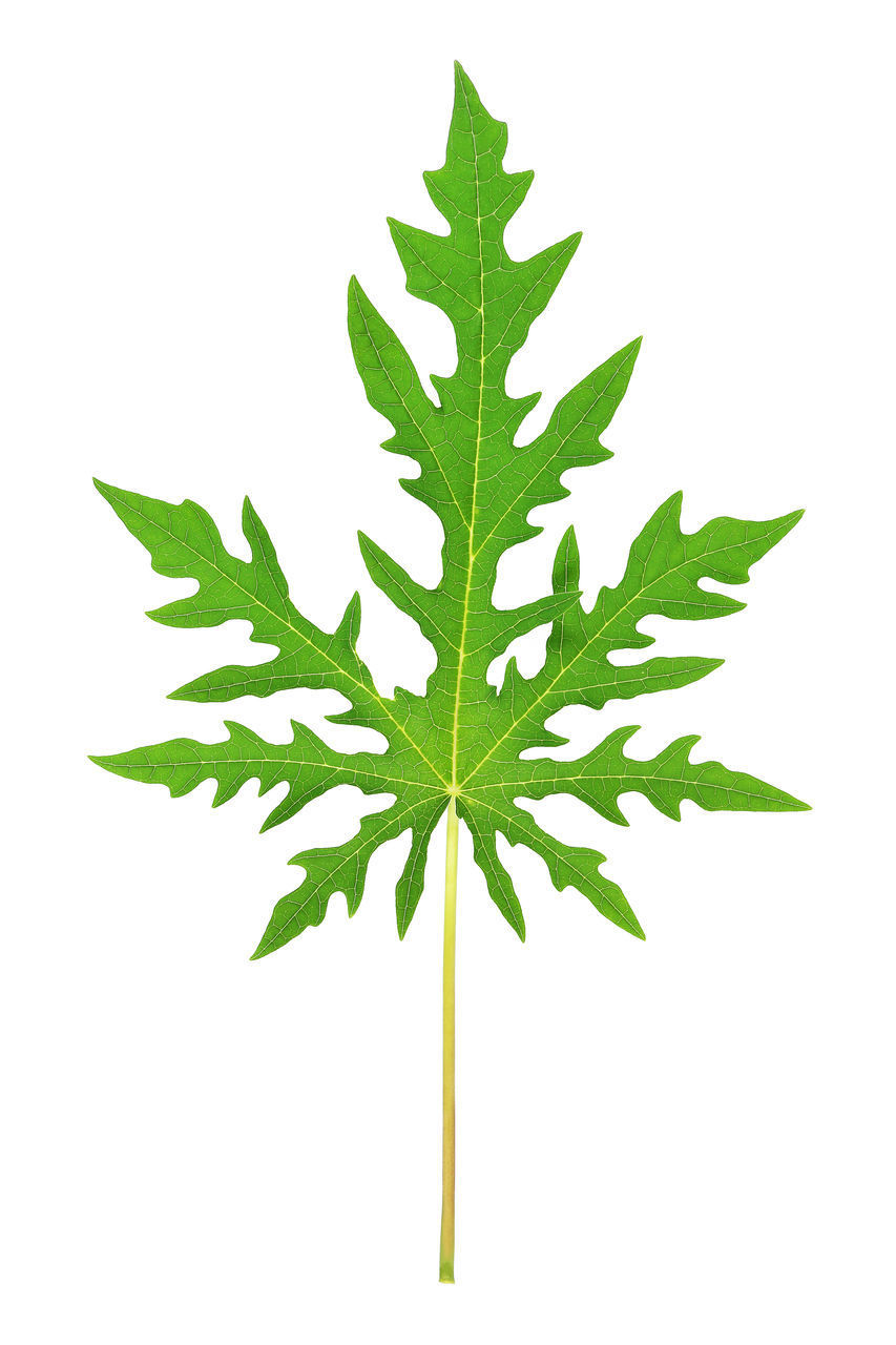 leaf, plant part, white background, studio shot, green color, plant, healthcare and medicine, cut out, nature, close-up, no people, indoors, herb, marijuana - herbal cannabis, growth, medicine, directly above, herbal medicine, cannabis plant, freshness, leaves