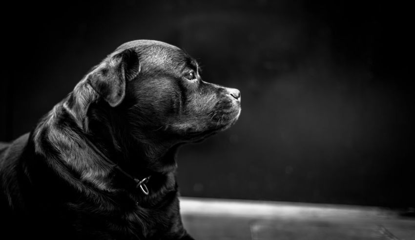 Rottweiler Perfil Rottweiler Canine Dog One Animal Animal Themes Pets Animal Domestic Animals Domestic Looking Away Looking Focus On Foreground Animal Body Part Pet Collar Animal Head  Collar Close-up