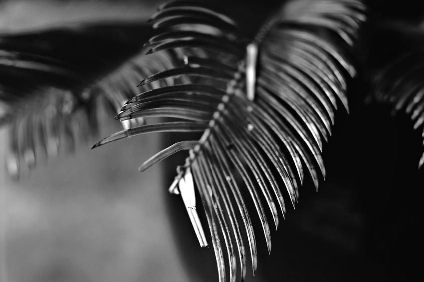 Close-up Focus On Foreground Leaf Selective Focus Growth Plant No People Nature Plant Part Day Palm Leaf Outdoors Beauty In Nature Palm Tree Tree Tranquility Blackandwhite