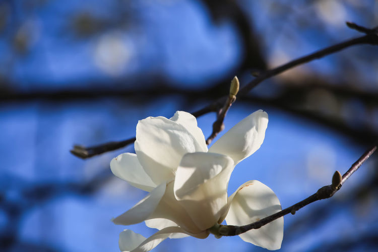 magnolia flower / white flower / My Best Photo Plant Beauty In Nature Vulnerability  Growth Fragility Magnolia Magnolia Tree Magnolia Flower Flower Flower Head White Flower White Magnolia Flower Spring Spring Flowers Springtime