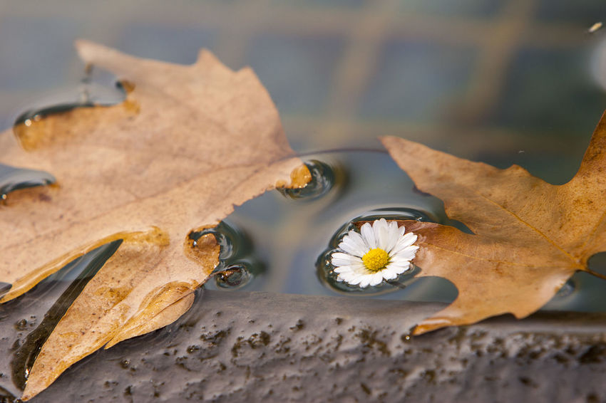 Autumn colors Autumn Leaves Autumnal Leaves Autumn Autumnal Mood Autumn🍁🍁🍁 Beauty In Nature Change Close-up Flower On Water Focus On Foreground Fragility High Angle View Iran Leaf Leaves Leaves On The Water Outdoors Plane Tree Plant Part Poetic Photography Tehran Vulnerability  Water Wet