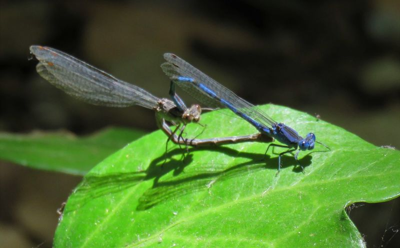 Mating Dragonfly Animal Animal Themes Animal Wildlife Animal Wing Animals In The Wild Close-up Damselfly Day Focus On Foreground Green Color Growth Insect Invertebrate Leaf Nature No People One Animal Outdoors Plant Plant Part Zoology