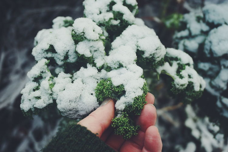 Close-up of hand holding snow covered kale