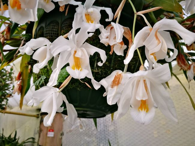 Plant Flower Head Orchid Orchidflower Orchidee Orchid Flower Coelogyne White Flower White Flowers White Orchid Hanging Close-up Flower