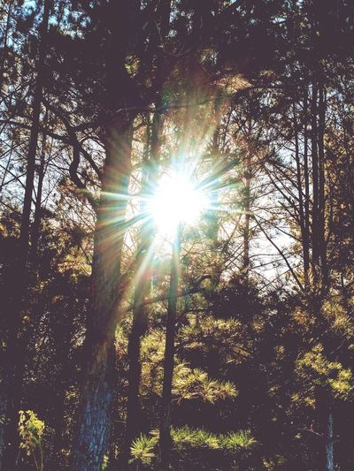 Sunbeam Through The Trees Sunbeam Lens Flare Low Angle View Sun Sunlight Nature Tree