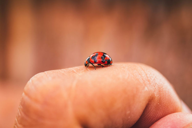 Close-up of ladybug on hand