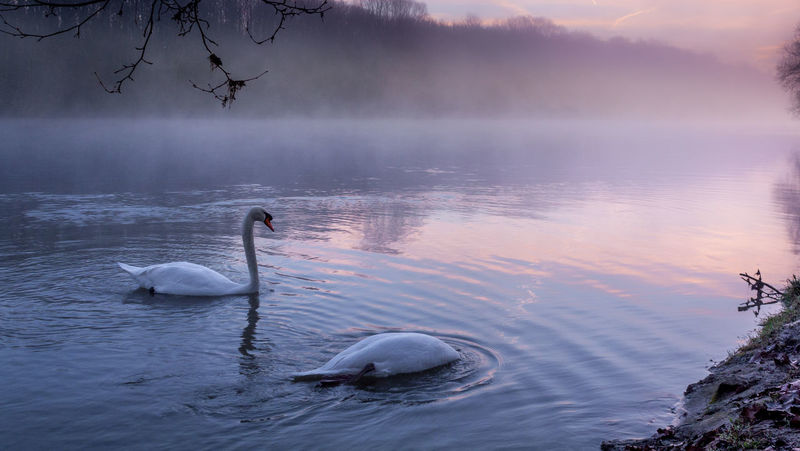 Animal Themes Animal Wildlife Animals In The Wild Beauty In Nature Bird Bleu Ro Brouillard Couple De Cygne Cygne Day Floating On Water Hi Lake Má Nature No People Outdoors River Riviere Scenics Swan Swimming Water Water Bird Millennial Pink