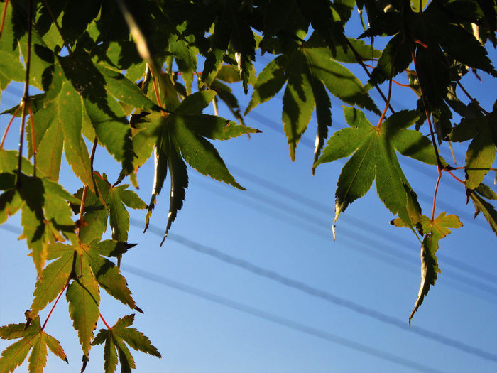 No People Outdoors Plant Leaf Tree Plant Part Leaves Maple Tree Close-up Nature Maple Leaf Branch Clear Sky