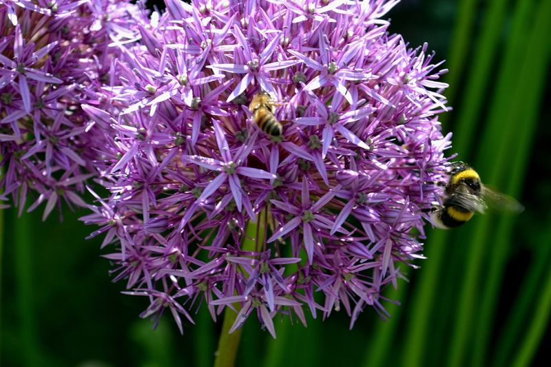 Allium with Bee & Wasp Two Insects Wasp Flower Purple Animals In The Wild Animal Themes Nature Fragility Growth Beauty In Nature Petal Freshness Bee Plant No People Day Outdoors Flower Head Pollination Animal Wildlife