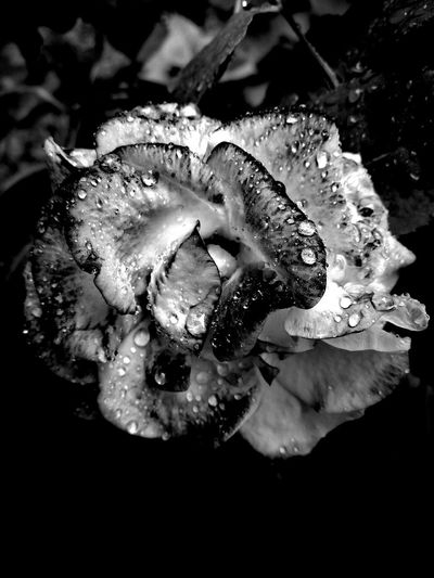Flower Black And White Flower Collection Flower Head Blackandwhite Photography Black & White Black And White Collection  Rose Black And White Beauty In Nature Rose Collection Rose - Flower