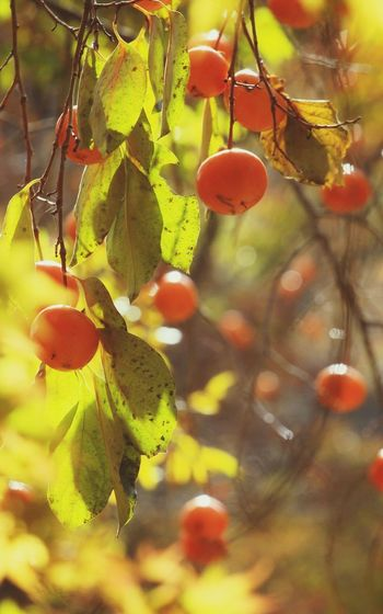 Red Fruits Red Fruit Beatiful Nature South Korea Lighting Beauty In Nature Persimmon Persimmons Tree Branch Fruit Leaf Hanging Close-up Food And Drink Plant Fruit Tree