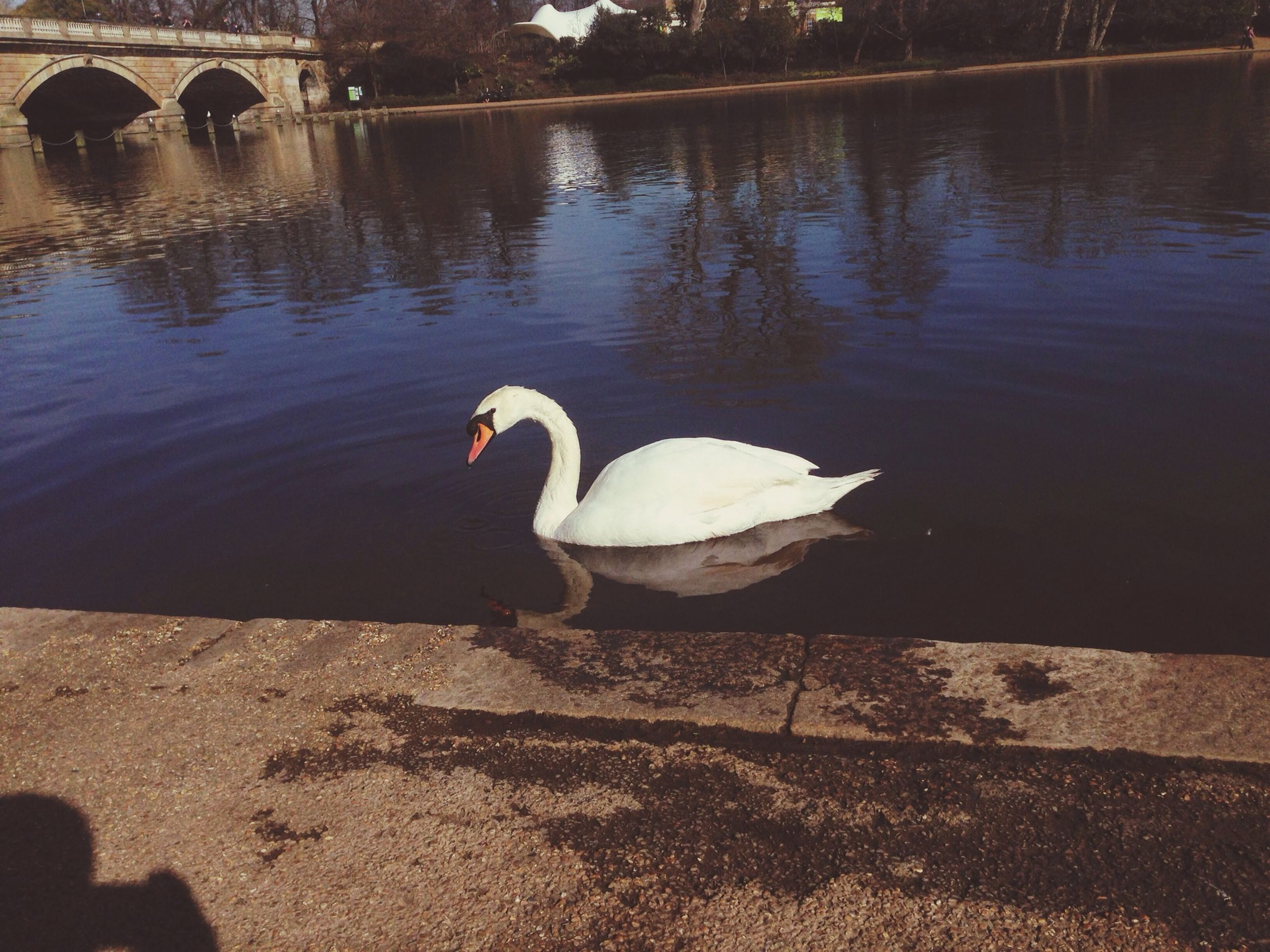 bird, animal themes, animals in the wild, wildlife, water, lake, swan, reflection, swimming, nature, one animal, water bird, duck, outdoors, beak, two animals, pond, no people, beauty in nature, rippled