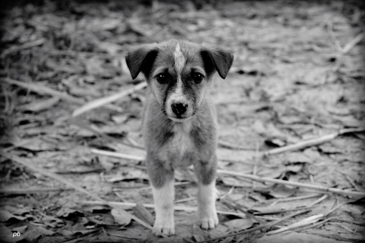 dog, one animal, animal themes, looking at camera, pets, domestic animals, portrait, mammal, no people, day, outdoors, standing, close-up