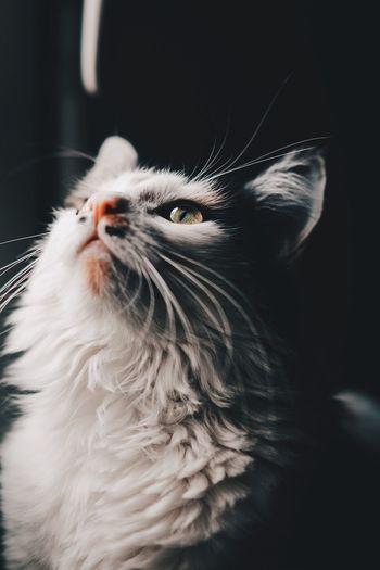 One Animal Pets Animal Animal Themes Domestic Animals Domestic Domestic Cat Mammal Feline Animal Body Part Indoors  Animal Head  Cat Vertebrate Looking Whisker Close-up No People Animal Hair Hair EyeEmNewHere