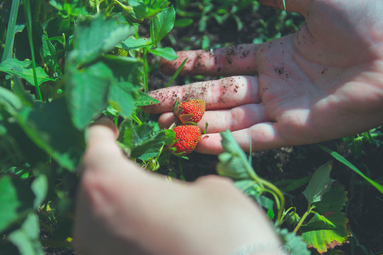 Cropped hands of woman holding strawberries growing outdoors