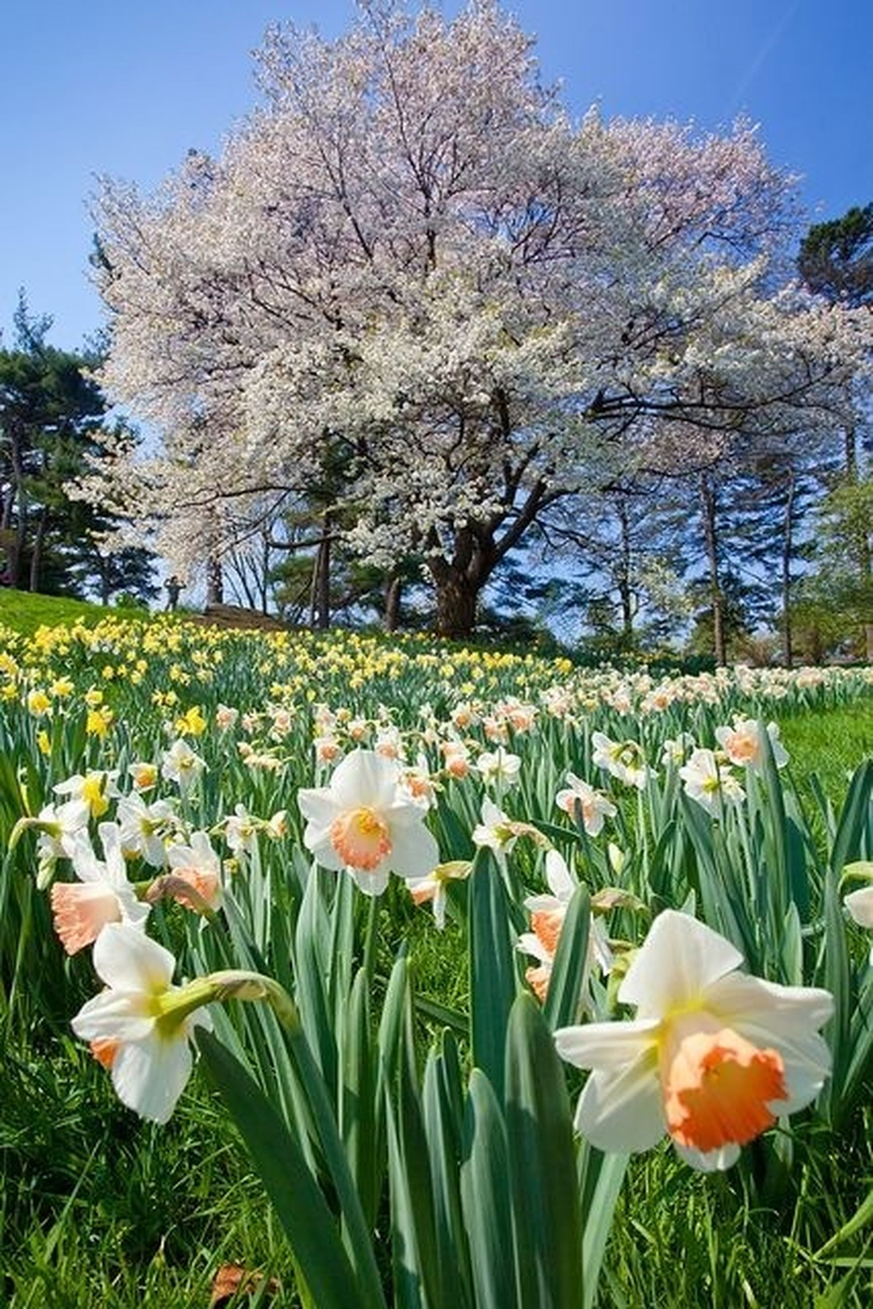 flower, freshness, petal, fragility, growth, beauty in nature, blooming, flower head, nature, field, blossom, in bloom, plant, tree, tranquil scene, grass, tranquility, springtime, white color, stem