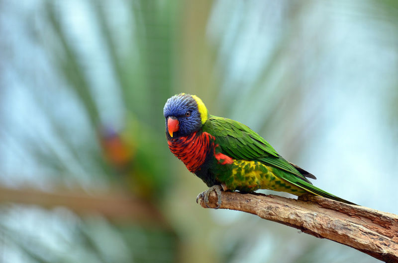 Full length of rainbow lorikeet perching on wood