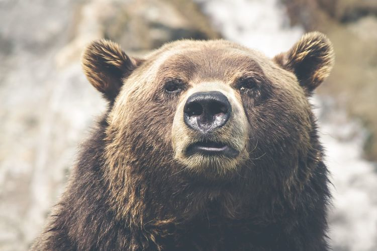 Close-Up Portrait Of Bear