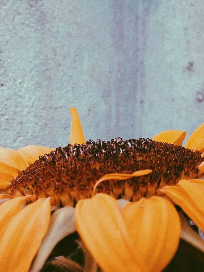 Gira ssolNature Flower The Great Outdoors - 2017 EyeEm Awards The Week on EyeEm Editors Picks Girassolamarelo The Week On EyeEm Editors The Week On EyeEm SP EyeEmNewHere EyeEmNewHere Discovery Multi Colored Myvision Yellow Paint The Town Yellow