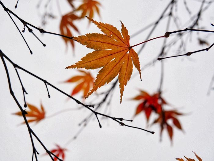 Close-up of maple leaves on branch during autumn