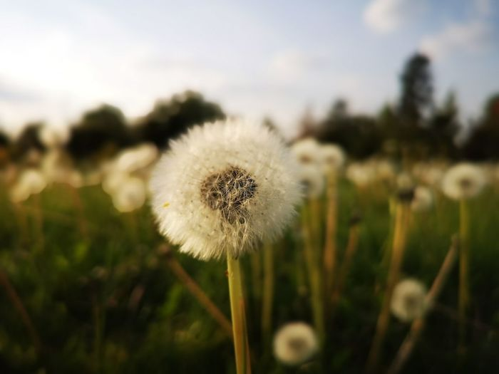 Dandelion and