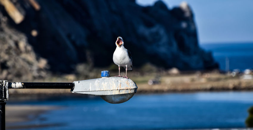 Bird Central Coast Day Focus On Foreground Morro Bay Nature Outdoors Perching Seagull Selective Focus Water