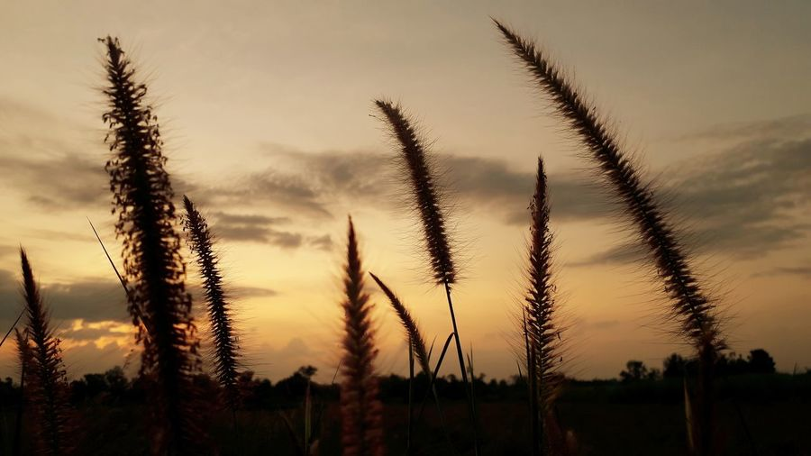 plant sunset sky natrue no pepple beaury in natrue Outdoors Nopeople Sky Sky_collection No People No People Outdoors EyeEm Best Shots Eye4photography  Beauty In Nature Thailand🇹🇭 2018 Day EyeEmNewHere Beautiful Tree Sunset Rural Scene Silhouette Dramatic Sky Sky Close-up Landscape Plant Cloud - Sky 50 Ways Of Seeing: Gratitude This Is Natural Beauty