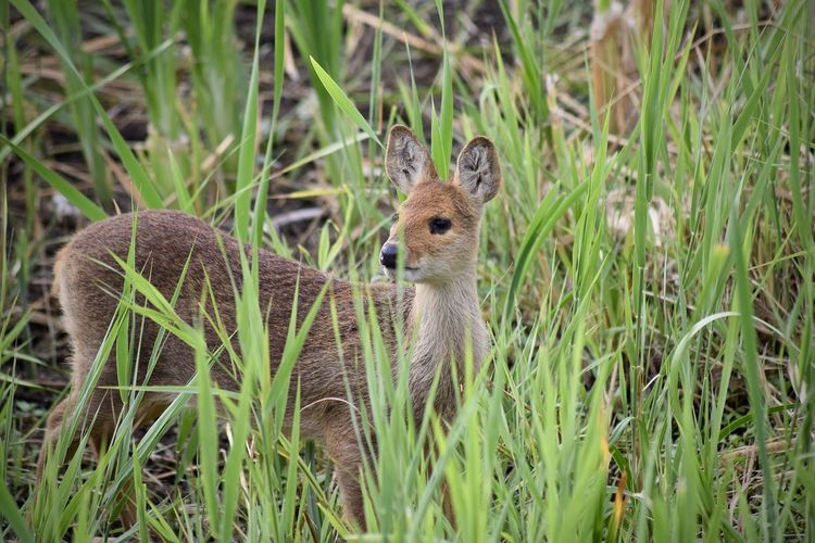 Deer Animal Animal Head  Animal Themes Animal Wildlife Animals In The Wild Cheetah Chinese Water Deer Day Field Fox Grass Green Color Growth Herbivorous Land Looking Mammal Nature No People One Animal Outdoors Plant Portrait Vertebrate
