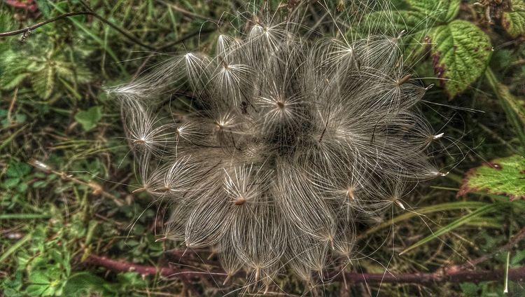 All Dem Seeds ... # Flower Fairy Nature Art HDR Nature