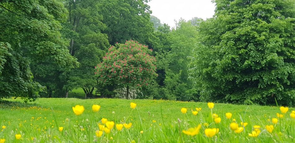 in the park Tree Buttercups Grass Field Openspace Dasies Meadow Flowers Englishcountryside Wildflower Buttercup Flower Head Flower Tree Yellow Field Grass Plant Blooming Green Color Close-up Plant Life In Bloom